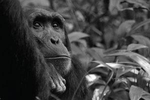 Chimpanzee Tracking and Chimpanzee Habituation Experience