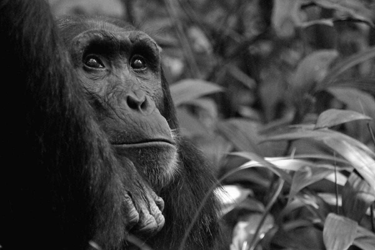 Chimpanzee Tracking and Chimpanzee Habituation Experience