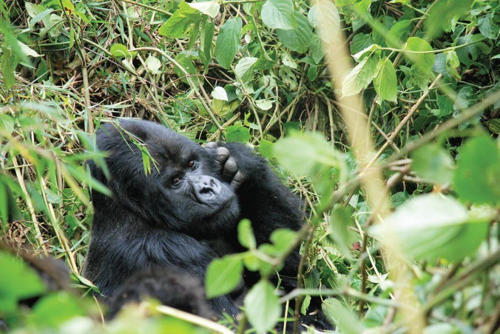 gorilla tracking - gorilla trekking