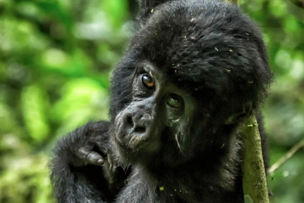 Bwindi Impenetrable Forest Gorillas