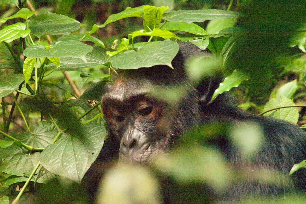 4 Days Uganda Gorillas & Chimps Tracking