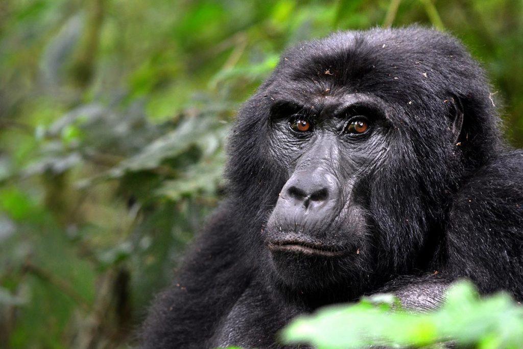Mgahinga Gorilla National PArk - Gorilla Tracking Uganda