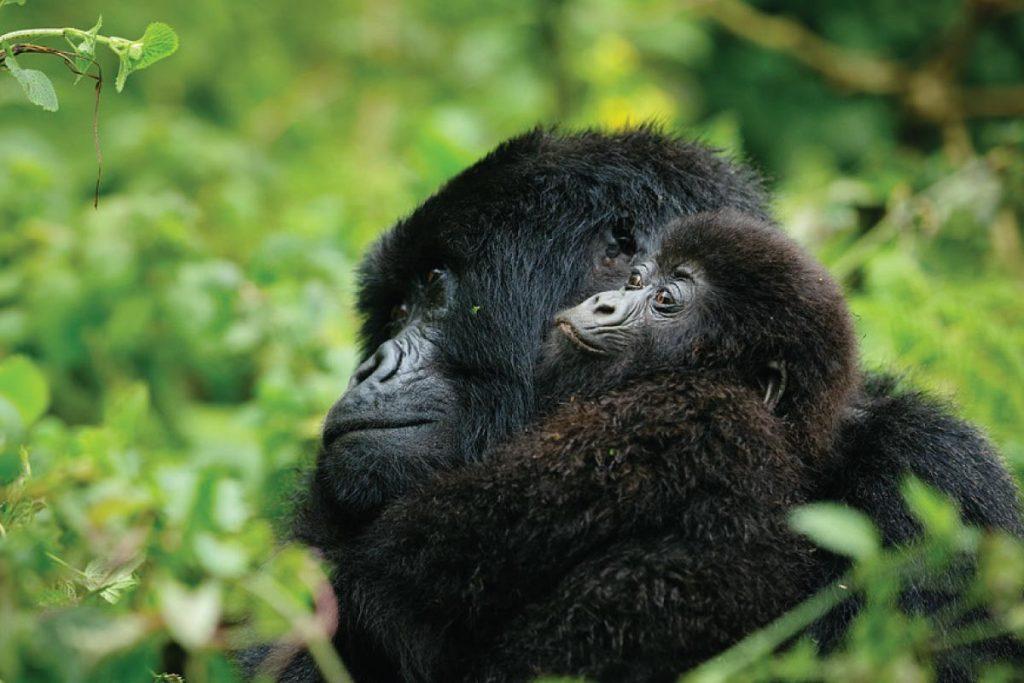 uganda gorilla safaris- Mgahinga Gorilla National Park