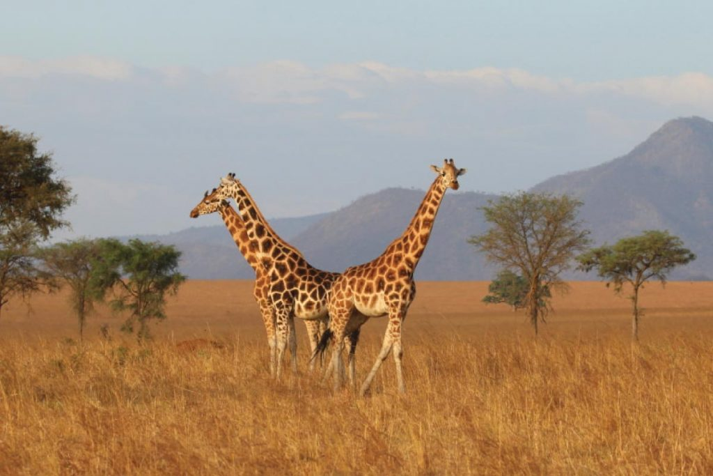 7 Days Uganda Wildlife Safari Holiday