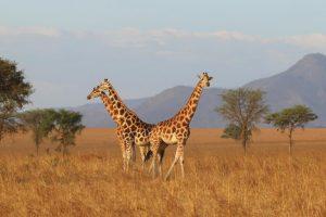 7 Days Uganda Wildlife Safari Holiday