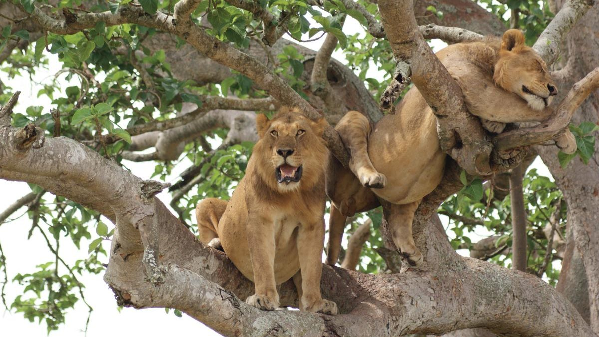 African Safari Vacation- Uganda Wildlife & Primates Holiday - Queen Elizabeth Wildlife Tour