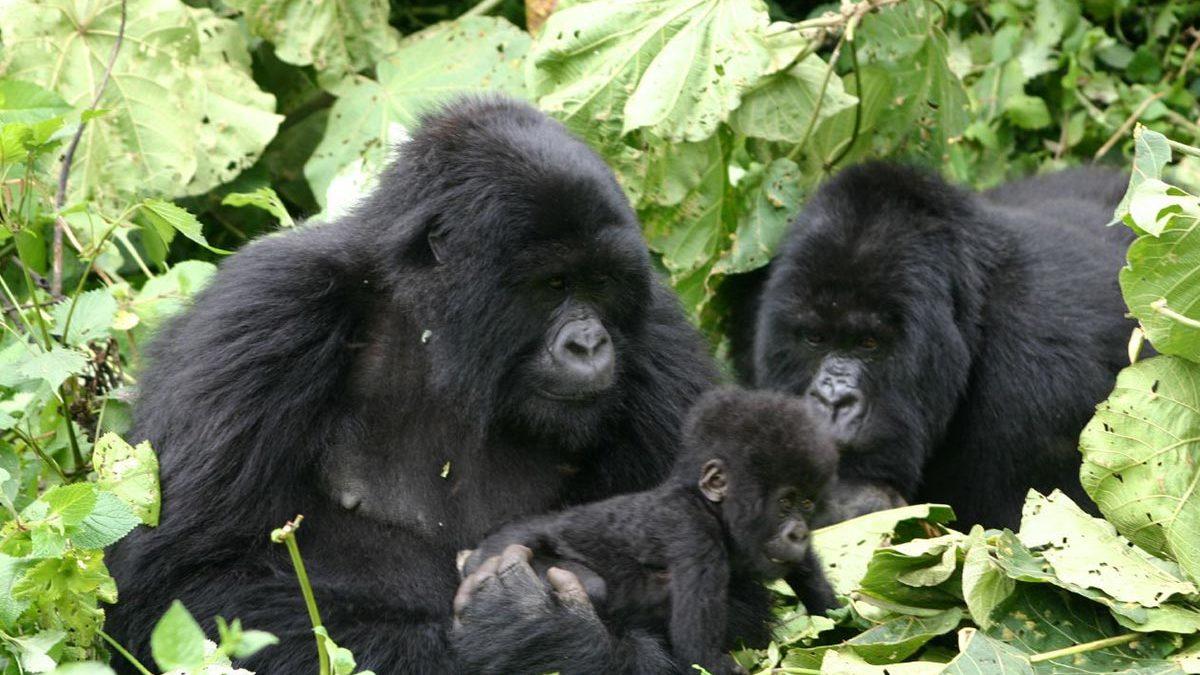 gorilla trekking in uganda- Double rwanda gorilla trekking- Volcanoes National Park Mountain Gorillas