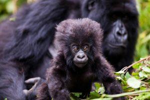 volcanoes national park rwanda gorilla trekking
