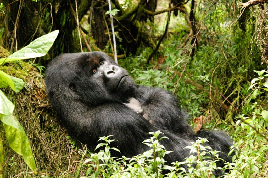 4 Days Double Uganda Gorilla Trekking