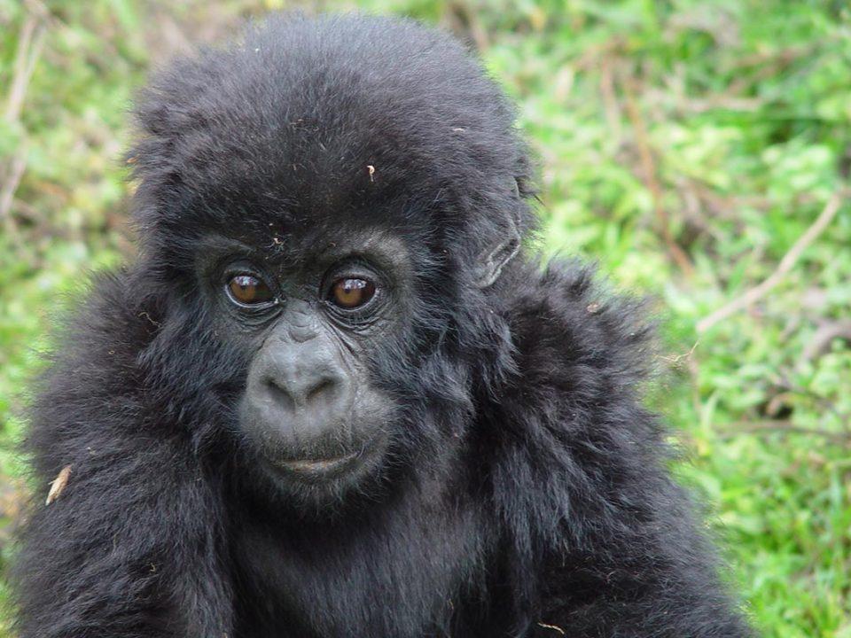 Uganda baby gorillas - rwanda gorilla trekking