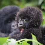 Volcanoes National Park Rwanda Gorilla Trekking - Rwanda Safari Adventure