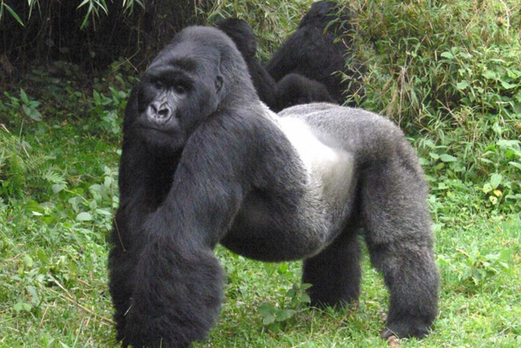 Gorillas, Queen & Rwenzori
