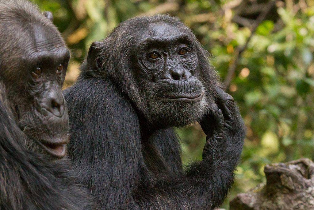 Ultimate Chimps & Gorilla Treks